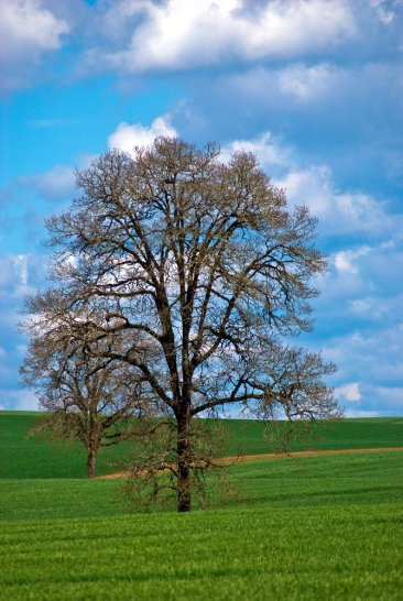 Oregon Tree (Winter) - Vince Ferguson - Digital Image