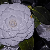 White Camellia flower with morning dew.
