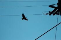 Black and Blue Osprey