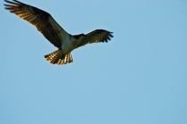 Osprey-6