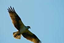 Osprey-7