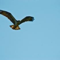 Osprey-8