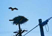 Osprey and Nest