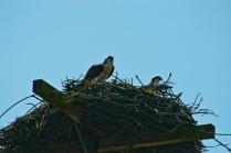 Two Osprey in Nest