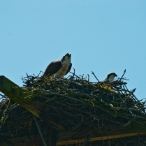 Two Osprey in Nest