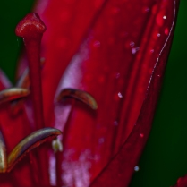Abstract Lily Macro
