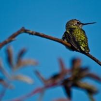 Hummingbird sits on a branch.