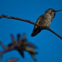 Hummingbird sits on a Branch