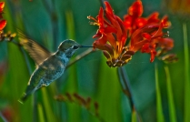 This Anna's Hummingbird takes a sip from a Lucifer Crocosmia.