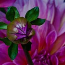 Emerald Studio Photography, Dahlia Bud, Digital Photograph