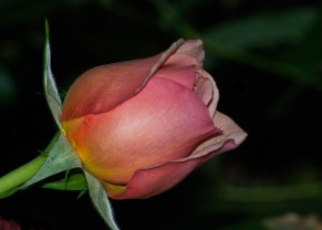 Emerald Studio Photography, Peach Silk Bud, Digital Photograph