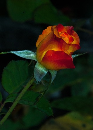Emerald Studio Photography, Rose Fire, Digital Photograph