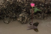 Vince Ferguson - Starfish and Rose, Digital Image
