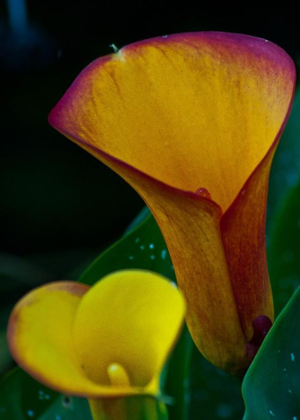 Vince Ferguson - Yellow Calla Lily II, Digital Image