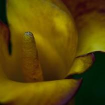 Vince Ferguson - Orange Calla Closeup, Digital Image