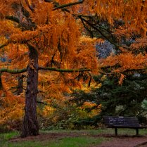 Vince Ferguson - Yellow Larch Tree with Bench - Digital Image