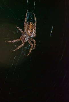 Vince Ferguson - Hobo Spider I - Digital Image