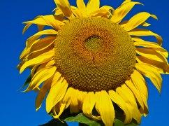 Vince Ferguson - Sunflower Giant - Digital Image
