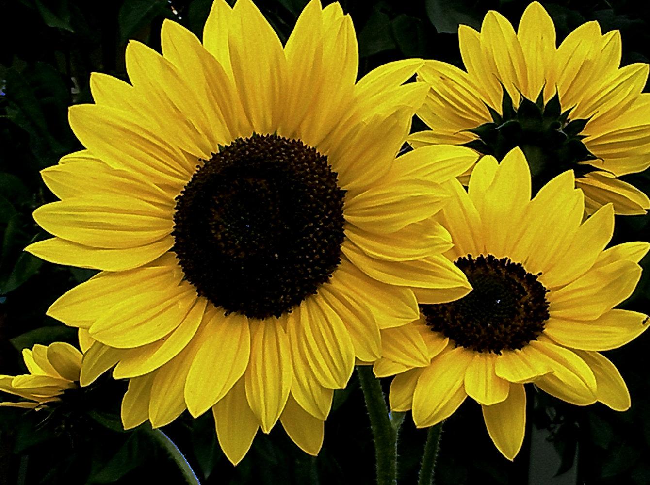 Sun… Sunflowers