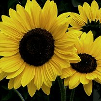 Vince Ferguson - Sunflower II - Digital Image