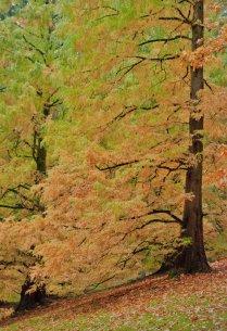 Vince Ferguson - Chinese Redwood - Digital Image