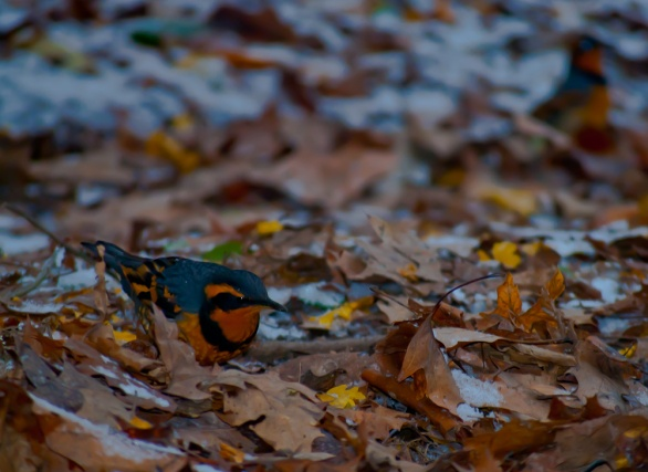 Vince Ferguson - Varied Thrush 01 - Digital Image