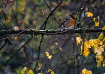 Vince Ferguson - Varied Thrush 03 - Digital Image