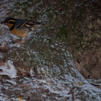 Vince Ferguson - Varied Thrush 04 - Digital Image