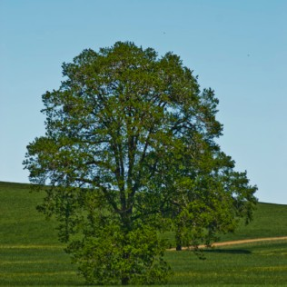 Vince Ferguson - Oregon Tree (Summer) - Digital Image