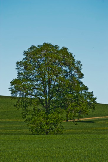 Vince Ferguson - Oregon Tree (Summer) - Digital Image