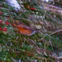 Vince Ferguson - Blurred Robin 02 - Digital Image