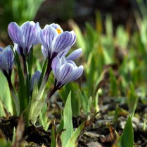 Vince Ferguson - Spring Crocus Bunch - Digital Image