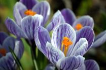 Vince Ferguson - Spring Crocus Flowers