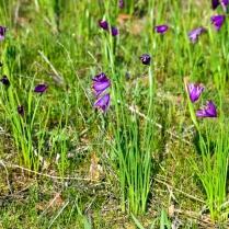 Vince Ferguson - Grass Widow Field - Digital Image