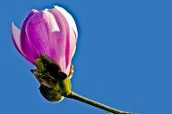 Vince Ferguson - Magnolia Blossom - Digital Image