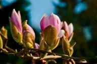 Vince Ferguson - Magnolia Blossoms - Digital Image