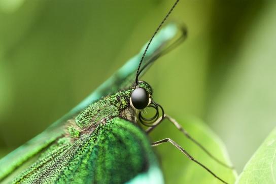 """Image Credit - """"Papilio Palinurus"""" by szmyk"""