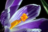 Vince Ferguson - Purple Crocus Closeup - Digital Image