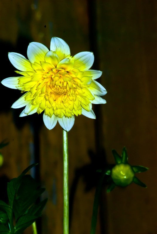 Vince Ferguson - Yellow Dahlia - Digital Image