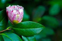 Vince Ferguson - Camellia with Leaves - Digital Image