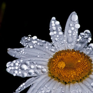 """Image Credit - """"Daisy Wet"""" by EmeraldStudioPhotography"""