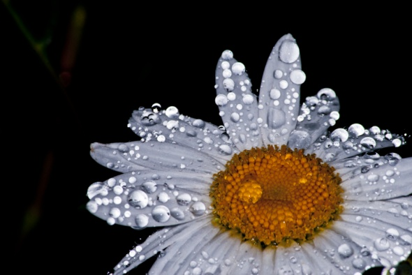 "Image Credit - ""Daisy Wet"" by EmeraldStudioPhotography"