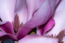 Vince Ferguson - Magnolia Flower - Digital Image