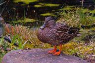 Vince Ferguson - Duck! - Digital Image