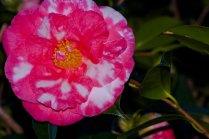 Vince Ferguson - Marble Camellia - Digital Image