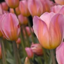 Vince Ferguson - Pink Tulips - Vince Ferguson