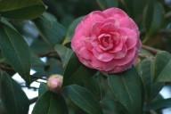 Vince Ferguson - Pink Camellia - Digital Image