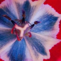 Vince Ferguson - Spider Tulip - Digital Image