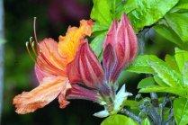 Vince Ferguson - Orange Azalea - Digital Image