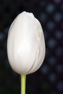 Vince Ferguson - White Tulip - Digital Image